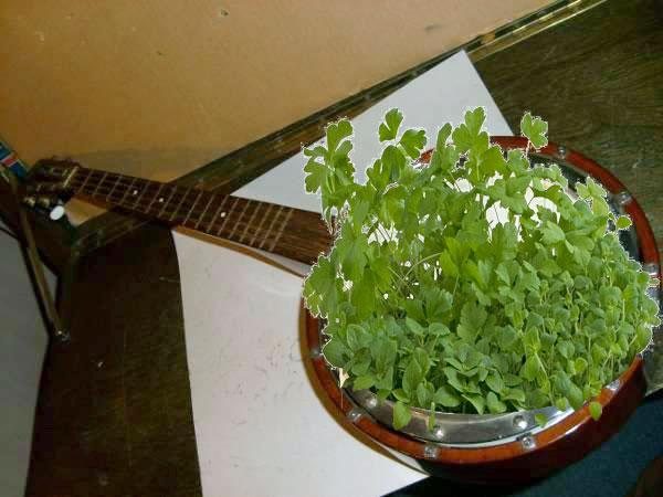 banjo plante